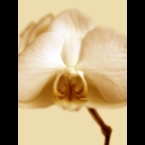 Orchid-1-Light-ornage