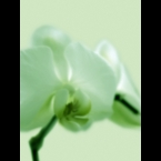 Orchid-2-Green